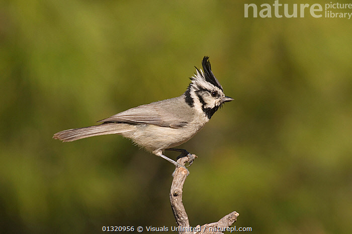Bridled titmouse (Baeolophus wollweberi) perched on a branch, Southern Arizona, USA. May  ,  ANIMAL,ANIMALS,ARIZONA,BAEOLOPHUS,BIRDS,BRIDLED,CLOSE UP,CRESTED,ONE,OUTDOORS,TITMOUSE,USA,WILD,WOLLWEBERI,North America  ,  Visuals Unlimited