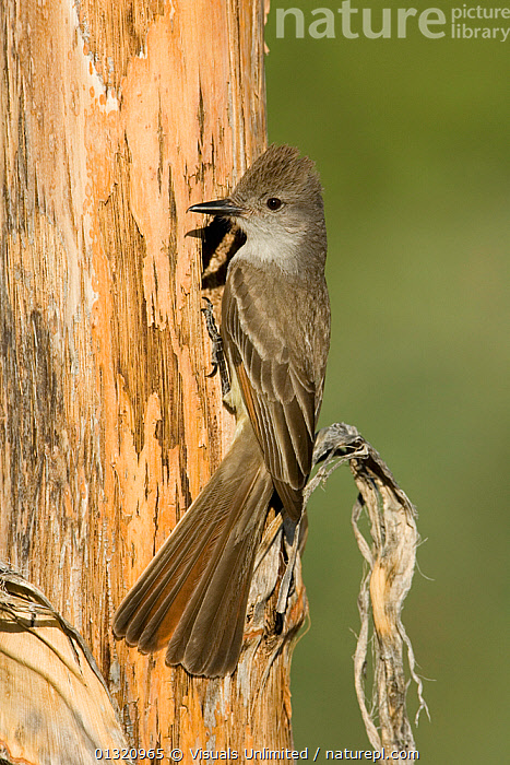 Ash-throated flycatcher (Myiarchus cinerascens) at its nest cavity entrance in an (Agave palmeri) stalk, Sonoran Desert, Arizona, USA. June  ,  ANIMAL,ARIZONA,ASH THROATED,BIRDS,CAVITY,CINERASCENS,CLOSE UP,FLYCATCHER,HOLE,MYIARCHUS,NEST,NESTING,ONE,OUTDOORS,USA,VERTICAL,WILDLIFE,North America  ,  Visuals Unlimited