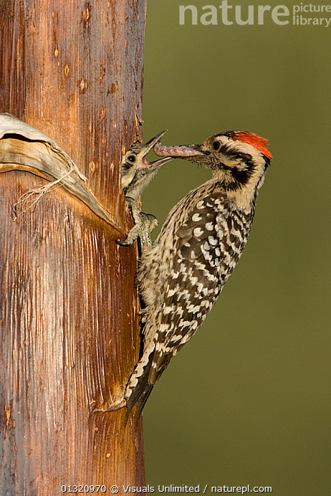 Ladder-backed woodpecker (Picoides scalaris) male feeding nestling in a nest cavity in an (Agave palmeri) stalk, Arizona, USA, May  ,  USA,North America  ,  Visuals Unlimited