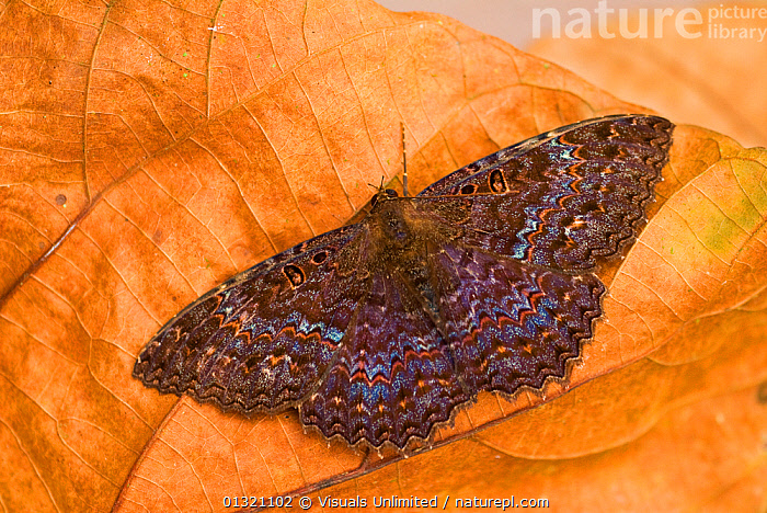 Black witch moth (Ascalapha odorata) male. February.  ,  ANIMAL,ASCALAPHA,BEAUTY,BILATERAL,BLACK,CLOSE UP,COLORED,DIRECTLY,INSECTS,LEPIDOPTERA,MALE,MOTH,MULTICOLORED,NOCTUID,ODORATA,ONE,ORANGE,OUTDOORS,SYMMETRY,WITCH,Invertebrates  ,  Visuals Unlimited