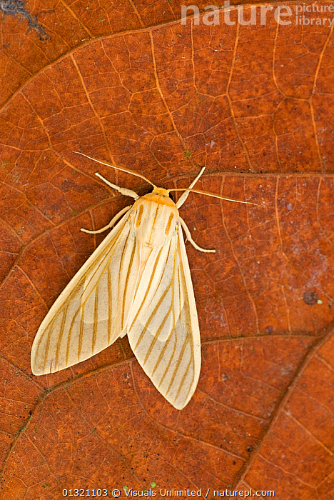 Moth (Muona iridescens).  ,  ANIMAL,ANTENNAE,BILATERAL,BROWN,CLOSE UP,COLORED,DIRECTLY,INSECTS,IRIDESCENS,LEPIDOPTERA,MOTH,MUONA,ONE,OUTDOORS,STRIPED,SYMMETRY,VERTICAL,WING,Invertebrates  ,  Visuals Unlimited