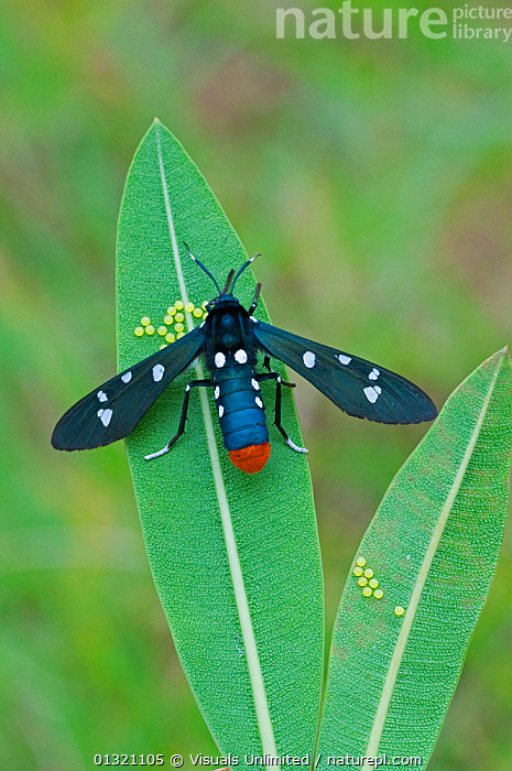 Polka-dot wasp moth and eggs (Syntomeida epilais) January  ,  ANIMAL,BEAUTY,BILATERAL,CLOSE UP,DIRECTLY,EGG,EPILAIS,INSECTS,LEPIDOPTERA,MOTH,MULTICOLORED,ONE,OUTDOORS,POLKA DOT,REPRODUCTION,SYMMETRY,SYNTOMEIDA,VERTICAL,WASP,Invertebrates  ,  Visuals Unlimited