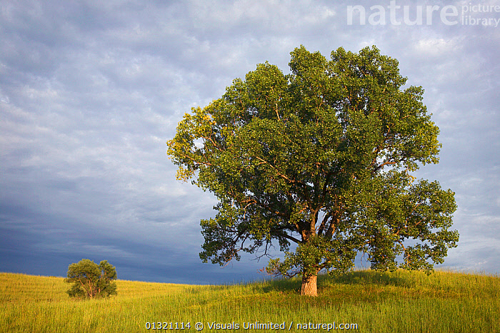 Two Cottonwood trees in the grassland of the Loess Hills, Iowa, USA. August 2003  ,  COTTONWOOD,GRASSLAND,HILLS,IOWA,LANDSCAPES,LOESS,OBJECTS,OUTDOORS,PRAIRIE,TREE,TWO,USA,North America  ,  Visuals Unlimited