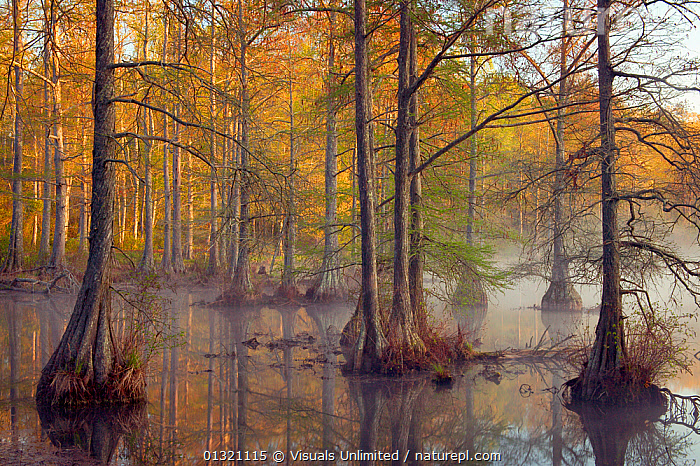 Bald Cypress trees (Taxodium distichum) in Spring Lake, Wall Doxey State Park, Mississippi, USA. April 2003  ,  BALD,BAYOU,BUTTRESS,CYPRESS,DISTICHUM,DOXEY,EERIE,FOGGY,HABITAT,LAKE,LARGE,MISSISSIPPI,MISTY,OBJECTS,PARK,ROOT,SPRING,STATE,SWAMP,SWAMPS,TAXODIUM,TREES,USA,WALL,WETLAND,WETLANDS,PLANTS,North America  ,  Visuals Unlimited