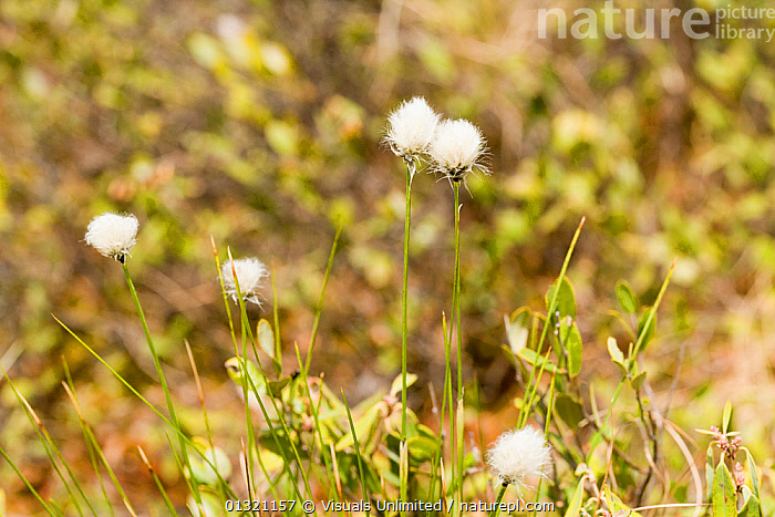 Tawny cottongrass (Eriophorum virginicum), Ponemah Bog, Amherst, New Hampshire, USA. May  ,  AMHERST,BOG,CLOSE UP,COTTONGRASS,ERIOPHORUM,FIVE,FLOWER,FOCUS,HAMPSHIRE,NEW,OBJECTS,OUTDOORS,PLANTS,PONEMAH,TAWNY,USA,VIRGINICUM,WHITE,WILDFLOWER,North America  ,  Visuals Unlimited