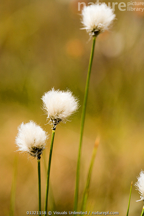 Tawny cottongrass (Eriophorum virginicum), Ponemah Bog, Amherst, New Hampshire, USA. May  ,  AMHERST,BOG,CLOSE UP,COTTONGRASS,ERIOPHORUM,FLOWER,HAMPSHIRE,NEW,OBJECTS,OUTDOORS,PLANTS,PONEMAH,TAWNY,THREE,USA,VERTICAL,VIRGINICUM,WHITE,WILDFLOWER,North America  ,  Visuals Unlimited