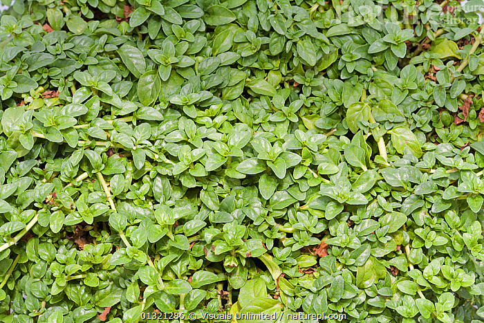 Pennyroyal (Mentha pulegium) is a herb..  ,  DIRECTLY,FLOODS,FRAME,GREEN,HERB,MEDICINAL,MENTHA,OUTDOORS,PENNYROYAL,PLANTS,PULEGIUM,QUALITIES,WEATHER  ,  Visuals Unlimited