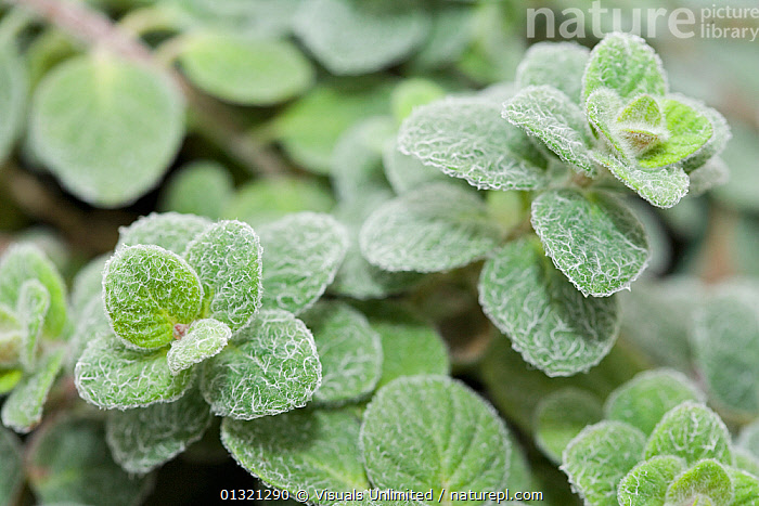Dittany of Crete (Origanum dictamnus) is an herb.  ,  ANGLE,CLOSE,CRETE,DICTAMNUS,DITTANY,FLOODS,FOCUS,FRAME,FUZZY,GREEN,HERB,HIGH,LARGE,LEAVES,MEDICINAL,NATURAL,OBJECTS,ORIGANUM,OUTDOORS,PATTERN,PLANT,PLANTS,SCIENTIFICA,WEATHER  ,  Visuals Unlimited