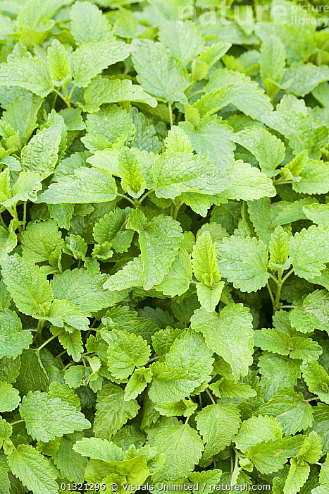 Lemon balm (Melissa officinalis) is used has a healing herb and flavoring for food.  ,  AROMATIC,BALM,DIRECTLY,FLAVORING,FLOODS,FRAME,GREEN,HERB,LEAVES,LEMON,MEDICINAL,MELISSA,OFFICINALIS,OUTDOORS,PLANT,PLANTS,SCIENTIFICA,VERTICAL,WEATHER  ,  Visuals Unlimited