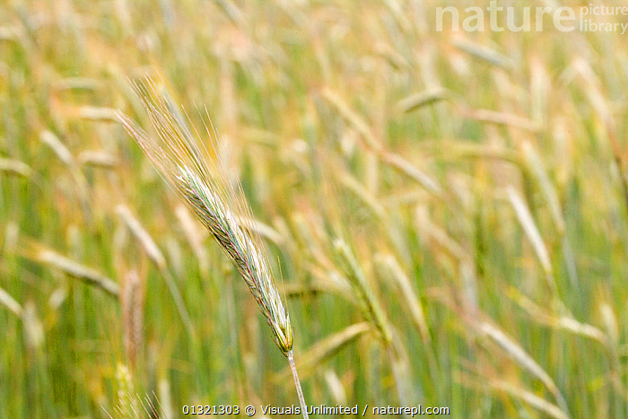 Rye  ,  ANGLE,CLOSE,FLOODS,FOCUS,FOOD,FRAME,GOLDEN,GRAIN,GREEN,HEALTHY,HIGH,OBJECT,OUTDOORS,PLANTS,RYE,SCIENTIFICA,SINGLE,WEATHER  ,  Visuals Unlimited
