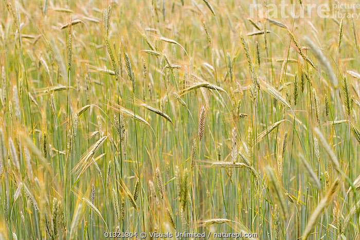 Rye  ,  ANGLE,BLURRED,FLOODS,FOOD,FRAME,GOLDEN,GRAIN,GREEN,HEALTHY,HIGH,LARGE,MOTION,OBJECTS,OUTDOORS,PLANTS,RYE,SCIENTIFICA,WEATHER  ,  Visuals Unlimited