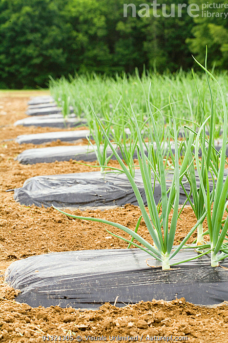 Onions  ,  CROPS,FIELD,FLAVORING,FLOODS,FOOD,GARDENS,GROUND,GROWTH,HEALTHY,ONIONS,OUTDOORS,PLANTS,PROTECTED,QUARTER,ROWS,SCIENTIFICA,SEEDLINGS,SOIL,THREE,VEGETABLE,VEGETABLES,VERTICAL,WEATHER,Concepts  ,  Visuals Unlimited