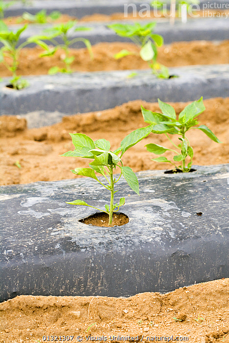 Pepper Plants  ,  CROPS,FLOODS,FOCUS,FOOD,GARDEN,GARDENS,GROUND,GROWING,GROWTH,HEALTHY,MEDIUM,OBJECTS,OUTDOORS,PEPPER,PLANTS,PROTECTED,QUARTER,SCIENTIFICA,SEEDLINGS,SOIL,THREE,VEGETABLE,VEGETABLES,VERTICAL,WEATHER,Concepts  ,  Visuals Unlimited