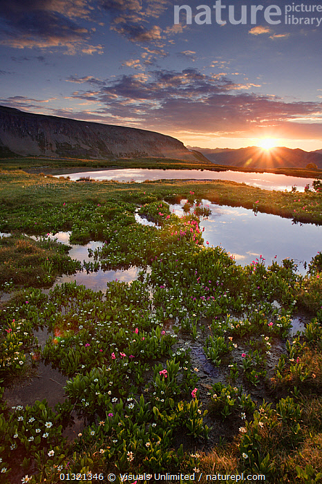 Sunrise in Porphyry Basin, an alpine basin in the San Juan Mountains of Colorado, USA. July 2006  ,  ALPINE,COLOR,COLORADO,DAWN,JUAN,LANDSCAPES,MORNING,MOUNTAIN,MOUNTAINS,OUTDOORS,POND,SAN,SUNRISE,TARN,USA,VERTICAL,WILDFLOWER,North America  ,  Visuals Unlimited