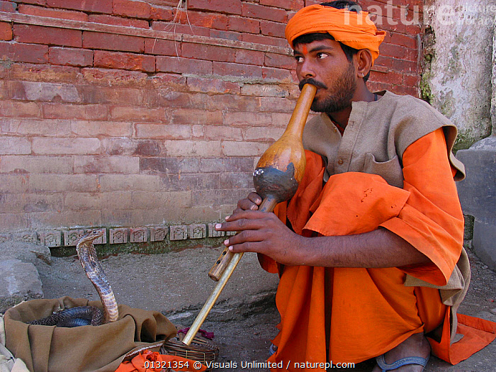 Nature Picture Library - A snake charmer encourages a Cobra