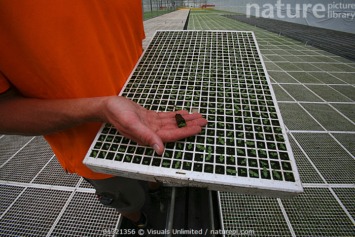 Worker inspecting the germination of flower seeds in a glasshouse in The Netherlands. April 2007  ,  ADULT,APPEARANCE,CAUCASIAN,COLOR,COMMERCIAL,FLOWER,FOCUS,GERMINATION,GREENHOUSE,HANDS,HUMAN,INDOORS,NETHERLANDS,NURSERY,ONE,OUTDOORS,PEOPLE,SEED,TRAYS,WORKER,Plants  ,  Visuals Unlimited