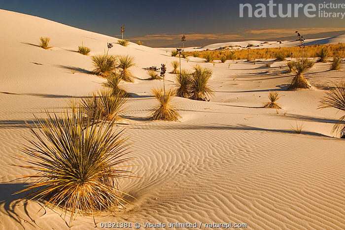 Yucca plants on gypsum sand dunes at dusk, White Sands National Park, New Mexico, USA. November 2006  ,  DESERTS,DUNE,EROSION,GEOLOGY,GYPSUM,LANDSCAPES,LARGE,MEXICO,MINERAL,MINERALS,MONUMENT,NATIONAL,NEW,OBJECTS,OUTDOORS,SAND,SANDS,USA,WHITE,WIND,YUCCA,North America,Weather  ,  Visuals Unlimited