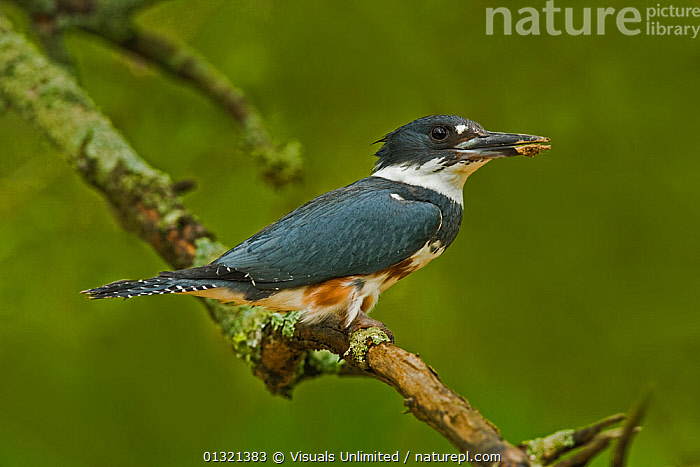 Female Belted Kingfisher (Ceryle alcyon) Eastern USA.  ,  ALCYON,ANIMAL,BELTED,BIRD,BIRDS,CERTLE,CERYLE,EATING,KINGFISHER,ONE,OUTDOORS,PREDATOR,PREY,USA,VERTEBRATES,North America  ,  Visuals Unlimited