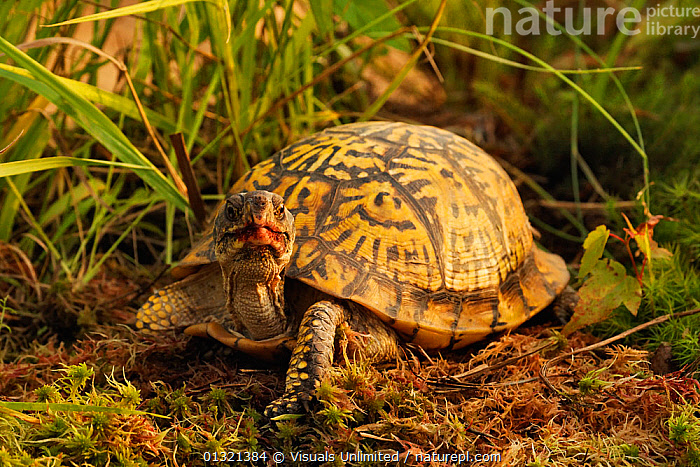 Eastern Box Turtle (Terrapene carolina carolina), Michigan, USA.  ,  ANIMAL,BOX,CAROLINA,EASTERN,HORIZONTA,MICHIGAN,ONE,OUTDOORS,REPTILE,REPTILES,TERRAPENE,TURTLE,USA,North America  ,  Visuals Unlimited