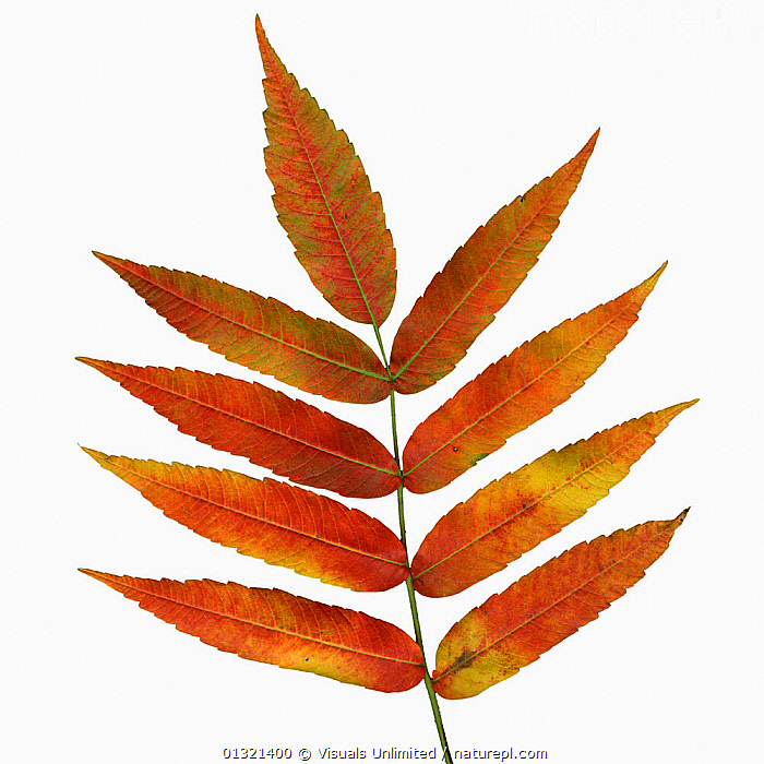 Sumac branch with compound leaves, in full fall foliage colors of orange and yellow.  ,  COMPOUND,CUTOUT,FALL,LEAF,LEAVES,MEDIUM,OBJECTS,ORANGE,PLANTS,SHOT,SQUARE ,STUDIO,SUMAC,WHITE,YELLOW  ,  Visuals Unlimited