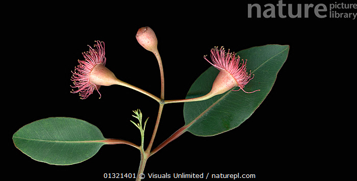 Eucalyptus branch with two green leaves and pink pod-like flowers.  ,  BLACK,EUCALYPTUS,FLOWER,GREEN,LEAVES,MEDIUM,OBJECTS,PINK,PLANTS,PODS,SHOT,SIMPLICITY,STUDIO  ,  Visuals Unlimited