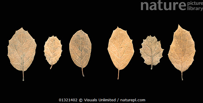 Six brown Coast Live Oak Tree (Quercus agrifolia) leaves with a variety of barbs on the edges, showing the veination of the underside.  ,  BLACK,BROWN,BY,COAST,CUTOUT,DETAILS,LEAVES,LIVE,MEDIUM,OAK,OBJECTS,PLANTS,SHOT,STUDIO,VEINS  ,  Visuals Unlimited