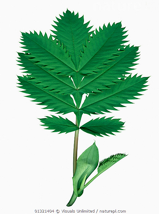Honey Bush sprig (Melianthus major) with very serrated edges to the leaves, native to South Africa, from the San francisco botanical Gardens.  ,  AFRICA,CUTOUT,EDGES,GREEN,LARGE,LEAVES,MAJOR,MELIANTHUS,OBJECTS,PLANTS,SERRATED,SHOT,SOUTH,STUDIO,VERTICAL,WHITE  ,  Visuals Unlimited