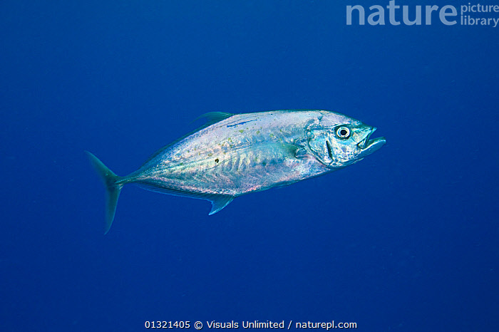 Barcheek Trevally (Carangoides plagiotaenia). Fiji.  ,  ANIMAL,BARCHEEK,CARANGOIDES,FIJI,FISH,LIFE,MARINE,OCEAN,ONE,OUTDOORS,PLAGIOTAENIA,SEA,SILVER,TREVALLY,TROPICAL,UNDERWATER,WILDLIFE,MELANESIA  ,  Visuals Unlimited