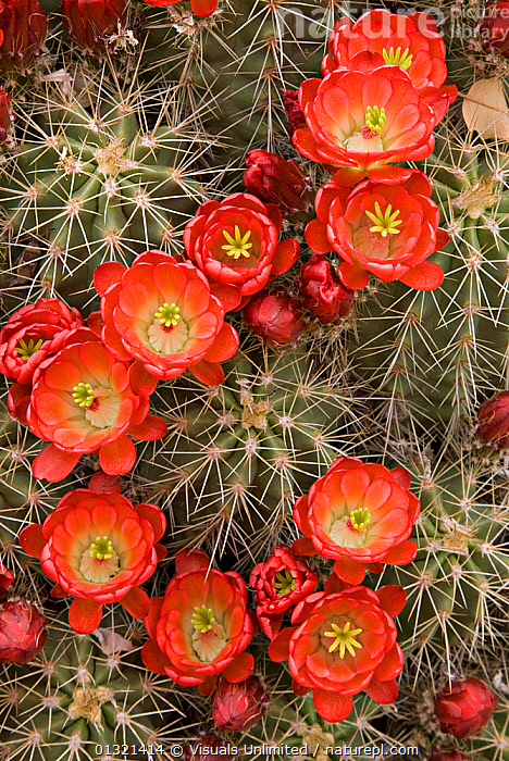 Claret Cup Cactus (Echinocereus triglochidiatus) flowers, USA  ,  BLOOMING,CACTUS,CLARET,CUP,DIRECTLY,ECHINOCEREUS,FLOWERS,IMAGES,LARGE,OBJECTS,OUTDOORS,PLANTS,PRICKLY,RED,SHARP,SPINES,TRIGLOCHIDIATUS,USA,VERTICAL,WILDFLOWERS,North America  ,  Visuals Unlimited