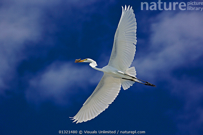 Great Egret (Casmerodius albus) in flight carrying an object in its bill, Sanibel Island, Florida, USA. February  ,  ALBUS,ANGLE,ANIMAL,ANIMALS,BEAK,BILL,BIRD,BIRDS,BLUE,CARRYING,CASMERODIUS,EGRET,FLYING,FREEDOM,GRACE,GREAT,LOW,OBJECT,ONE,OUTDOORS,SKY,USA,VERTEBRATES,WHITE,WILD,WILDLIFE,WING,CONCEPTS,North America  ,  Visuals Unlimited
