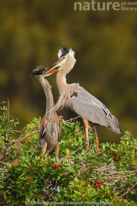 Great Blue Heron (Ardea herodias) feeding its young, Venice rookery, Florida, USA. February  ,  ANIMAL,ANIMALS,ARDEA,BEGINNINGS,BIRD,BIRDS,BLUE,CARE,DEPENDENCY,FEEDING,FLORIDA,FOCUS,FRAGILITY,GREAT,GROWTH,HERODIAS,HERON,INNOCENCE,LIFE,LOVE,MATERNAL,NEST,NESTLING,NEW,OUTDOORS,PARENTAL,PROTECTION,STANDING,TOGETHERNESS,TWO,USA,VERTEBRATES,VERTICAL,WILD,WILDLIFE,YOUNG,Concepts,North America  ,  Visuals Unlimited