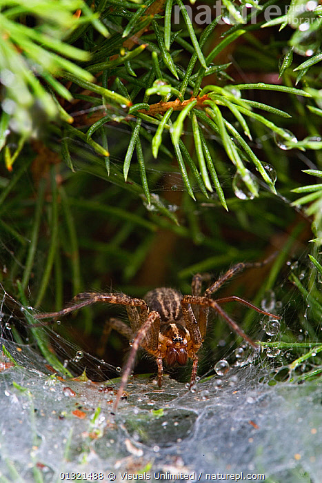Funnel Web Weaver / Grass Spider (Agelenopsis sp) on its web, Kentucky, USA. September  ,  AGELENOPSIS,ANIMAL,ANIMALS,DEW,FUNNEL,GRASS,GREEN,KENTUCKY,MORNING,ONE,OUTDOORS,SPIDER,USA,VERTICAL,WEAVER,WEB,WILD,WILDLIFE,Plants,North America  ,  Visuals Unlimited