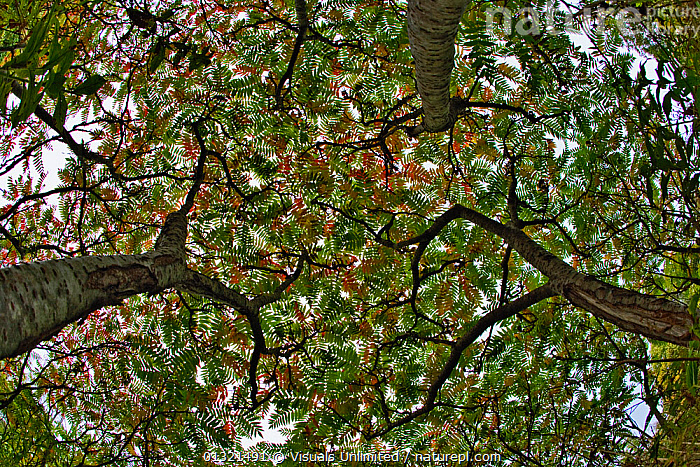 Fisheye view upward thorugh canopy of three Sumac trees in autumn, Maine, USA, October 2005  ,  ANGLE,BACKGROUNDS,FISHEYE,FRAME,LOW,NATURAL,OBJECTS,OUTDOORS,PATTERN,SUMAC,THREE,USA,North America  ,  Visuals Unlimited