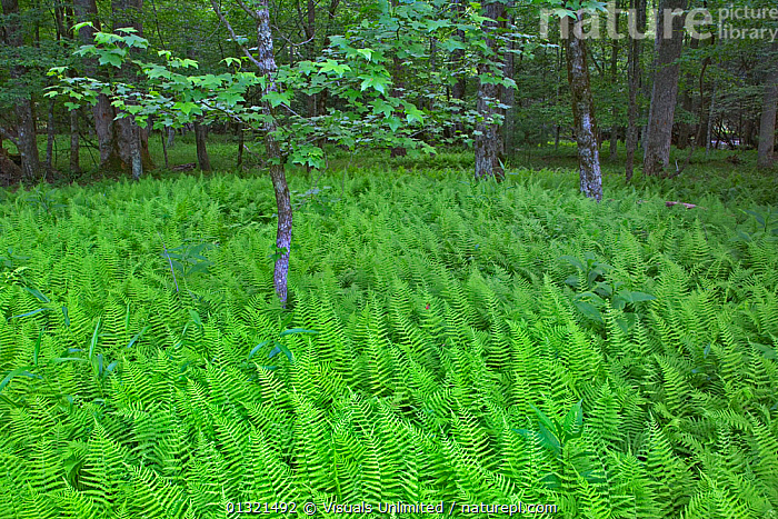 Spinulose Wood Ferns on the floor of a deciduous forest (Dryopteris carthusiana), Cades Cove, Great Smoky Mountains National Park, Tennessee, USA. June 2006  ,  CARTHUSIANA,DECIDUOUS,DRYOPTERIS,FERN,FLOOR,FOREST,GREAT,LANDSCAPES,MOUNTAINS,NATIONAL,OUTDOORS,PARK,PLANTS,RYOPTERIS,SMOKY,SPINULOSE,TENNESSEE,USA,WOOD,North America  ,  Visuals Unlimited