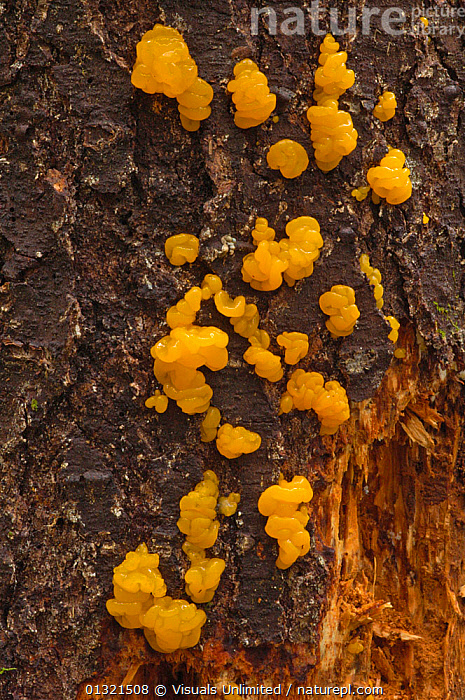 Fruiting bodies of the Jelly Fungus (Dacrymyces palmatus) growing on a dead and decaying conifer trunk, Southwest Oregon, USA, December  ,  BARK,CONIFER,DACRYMYCES,DECAY,DECOMPOSER,FUNGUS,JELLY,LARGE,MUSHROOM,OBJECTS,OREGON,OUTDOORS,PALMATUS,ROT,TREE,TRUNK,USA,VERTICAL,YELLOW,Plants,North America  ,  Visuals Unlimited