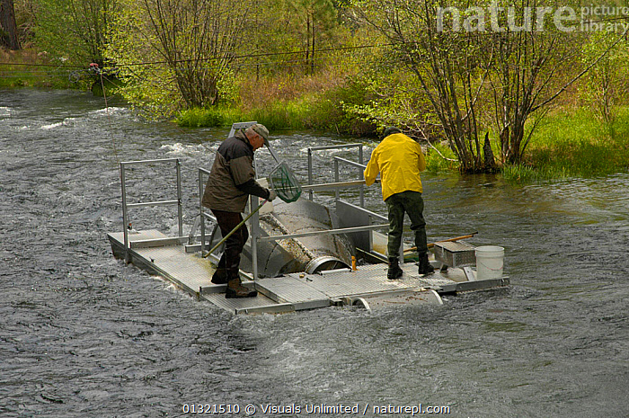 Pacific Gas and Electric fish trap on the Metolius River in central Oregon, USA. The purpose of the trap is to capture juvenile Chinook Salmon (Oncorhynchus tshawytscha) and Kokanee (Oncorhynchus nerka) migrating downstream and thus obtain an estimate of the number of fish produced in the upper river and its tributaries. The trap is checked daily and fish are counted, measured, tagged and released unharmed. May 2008  ,  ADULT,APPEARANCE,BIOLOGIST,BOAT,CAUCASIAN,CHINOOK,COLLECTION,COUNT,DATA,FISH,KOKANEE,MANAGEMENT,MATURE,MEN,METOLIUS,MIGRATION,NERKA,ONCORHYNCHUS,OREGON,OUTDOORS,PEOPLE,RESEARCH,RESEARCHER,RIVER,SALMON,SCIENTIST,SOCKEYE,STUDY,TRAP,TSHAWYTSCHA,TWO,USA,WILDLIFE,North America  ,  Visuals Unlimited