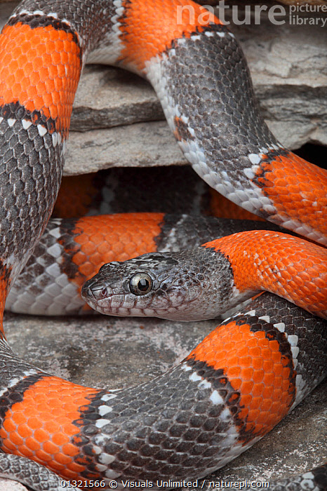 A brightly-patterned Gray-banded Kingsnake (Lampropeltis alterna), Terrell County, Texas, USA, January  ,  ALERT,ALTERNA,ANIMAL,BROWN,CLOSE,GRAY BANDED,KINGSNAKE,LAMPROPELTIS,NATURAL,ONE,PATTERN,QUARTER,REPTILE,REPTILES,RUST,SECTIONS,SNAKE,SNAKES,TEXAS,THREE,USA,VERTEBRATES,VERTICAL,North America  ,  Visuals Unlimited