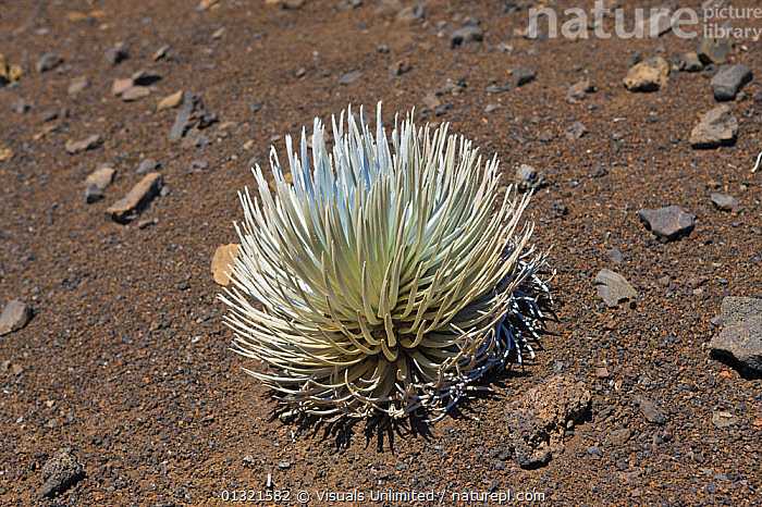 Endangered and endemic Silversword at Haleakala Volcano Crater (Argyroxiphium sandwicense macrocephalum), Maui, Hawaii, USA, February  ,  ANGLE,ARGYROXIPHIUM,ENDANGERED,ENDEMIC,HALEAKALA,HAWAII,HIGH,MACROCEPHALUM,MAUI,OBJECT,OUTDOORS,PLANT,PLANTS,SANDWICENSE,SILVERSWORD,SINGLE,SPECIES,North America  ,  Visuals Unlimited