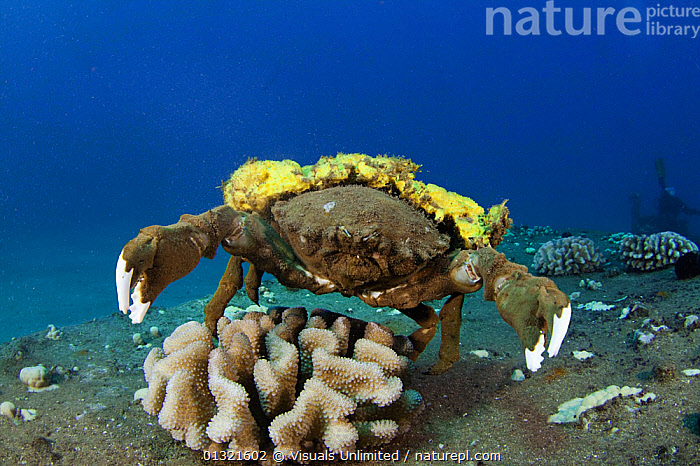 Sponge Crab (Dromia dormia) carrying a yellow sponge for camouflage, Hawaii, USA.  ,  ANIMALS,CAMOUFLAGE,COLORATION,COMMENSALISM,CRAB,CRUSTACEAN,DECORATOR,DORMIA,DROMIA,HAWAII,LIFE,MARINE,MUTUALISM,OCEAN,OUTDOORS,PROTECTIVE,RELATIONSHIP,SEA,SPONGE,SYMBIOTIC,TWO,UNDERWATER,USA,North America  ,  Visuals Unlimited