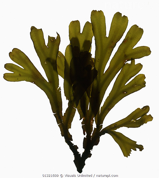 Seaweed, Bolinas, California.  ,  ALGAE,CUTOUT,DIRECTLY,GREEN,MARINE,OBJECT,SEAWEED,SHOT,SINGLE,STUDIO,VERTICAL,WHITE,Plants  ,  Visuals Unlimited