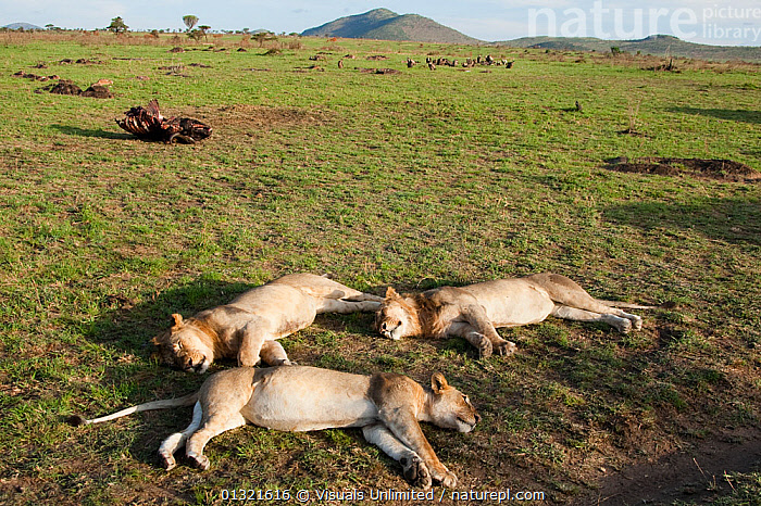 African Lions (Panthera leo) sleeping in a group in the Masai Mara Game Reserve, Kenya, December 2007  ,  AFRICA,AFRICAN,ANGLE,ANIMALS,BROWN,EAST AFRICA,GAME,HIGH,KENYA,LAYING,LEO,LIONS,MAMMALS,MARA,MASAI,OUTDOORS,PANTHERA,RELAXING,RESERVE,SLEEPING,SPECIES,THREE,VERTEBRATES,VULNERABLE  ,  Visuals Unlimited