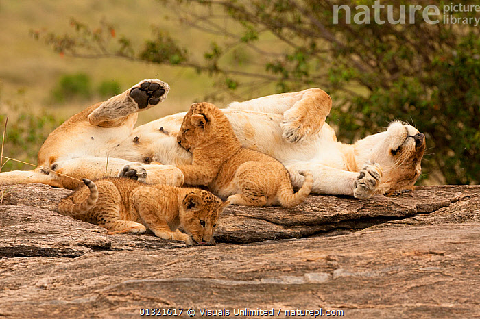 African Lioness (Panthera leo) nursing cubs in the Masai Mara Game Reserve, Kenya.  ,  AFRICA,AFRICAN,ANIMAL,ANIMALS,CUBS,CUTE,EAST AFRICA,FEEDING,GAME,KENYA,LAYING,LEO,LION,LIONESS,MAMMALS,MARA,MASAI,NURSING,NURTURING,OUTDOORS,PANTHERA,RESERVE,ROCK,SPECIES,SURVIVAL,THREE,VERTEBRATES,VULNERABLE  ,  Visuals Unlimited