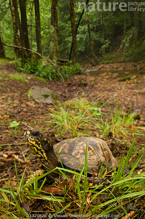 Eastern Box Turtle (Terrapene carolina carolina) found in the Eastern United States.  ,  ALERT,ANGLE,ANIMAL,BLACK,BOX,CAROLINA,CRAWLING,EASTERN,GROUND,HIGH,NATURAL,ONE,OUTDOORS,PATTERN,PET,REPTILES,TERRAPENE,TURTLE,USA,VERTICAL,WILD,WOODLANDS,YELLOW,North America  ,  Visuals Unlimited