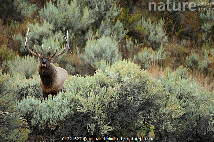 Elk (Cervus canadensis) in Yellowstone National Park, USA.  ,  ALERT,ANIMAL,ANTLERS,BEHAVIOR,CANADENSIS,CERVUS,DEER,ELK,MAJESTIC,MAMMALS,NATIONAL,ONE,OUTDOORS,PARK,QUARTER,THREE,USA,VERTEBRATES,VOCALIZING,WAPITI,WILD,WILDLIFE,YELLOWSTONE,North America  ,  Visuals Unlimited