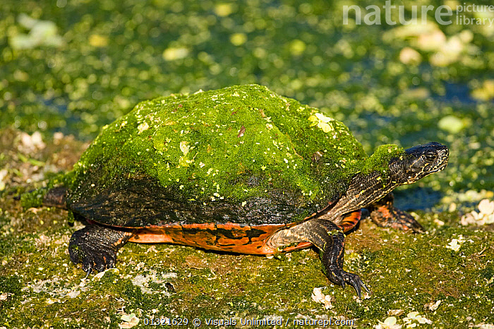 Florida Red-bellied Turtle (Pseudemys nelsoni) covered with moss in a swamp, Everglades, Florida, USA.  ,  ALERT,ANIMAL,BELLIED,EVERGLADES,FLORIDA,FOCUS,GREEN,MOSS,NELSONI,ONE,OUTDOORS,PSEUDEMYS,RED,SWAMP,TURTLE,USA,WILD,North America  ,  Visuals Unlimited