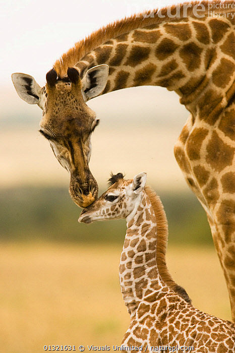Female Masai Giraffe with young (Giraffa camelopardalis tippelskirchi) Masai Mara Game Reserve, Kenya.  ,  AFRICA,ANIMAL,ANIMALS,BEAUTY,BONDING,BROWN,CALF,CAMELOPARDALIS,CARING,CUTE,EAST AFRICA,FOCUS,GAME,GIRAFFA,GIRAFFE,KENYA,MAMMALS,MARA,MASAI,NATURAL,NURTURING,OUTDOORS,PATTERN,PROTECTING,RESERVE,TIPPELSKIRCHI,TOGETHERNESS,TWO,VERTEBRATES,VERTICAL,WAIST,WHITE,WILD,YOUNG  ,  Visuals Unlimited