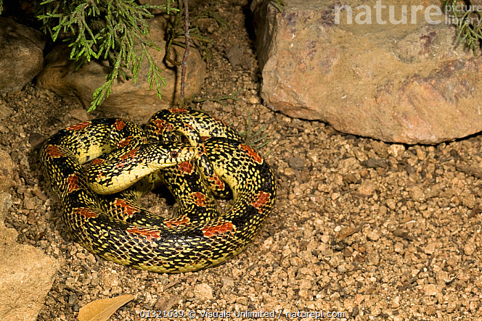 Long-nosed Snake (Rhinocheilus lecontei), Arizona, USA.  ,  ANIMAL,ARIZONA,COILED,DIRECTLY,LECONTEI,LONG,MULTICOLORED,NATURAL,NOSED,ONE,OUTDOORS,PATTERN,REPTILES,RHINOCHEILUS,SNAKE,USA,VERTEBRATES,WILD,North America  ,  Visuals Unlimited