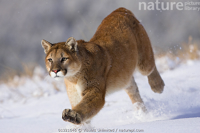 Puma (Puma concolor) running through snow in Montana, USA. Captive.  ,  ANIMAL,COLD,CONCOLOR,COUGAR,FAST,FOCUS,LION,MAMMALS,MONTANA,MOUNTAIN,ONE,OUTDOORS,POWERFUL,PUMA,RUNNING,SNOW,SPEED,USA,VERTEBRATES, Concepts,North America  ,  Visuals Unlimited