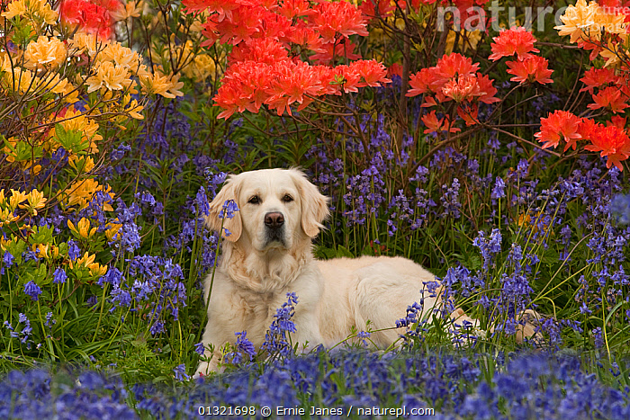 Golden retriever dog in garden with Azalea flowers, UK, May  ,  BLUE,COLOURFUL,DOG,DOGS,EUROPE,FLOWERS,GARDENS,GUNDOGS,LARGE DOGS,OUTDOORS,PETS,RED,UK,VERTEBRATES,YELLOW,United Kingdom,Canids  ,  Ernie Janes