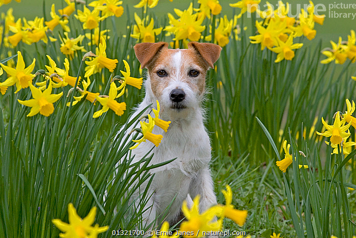 Jack Russell terrier in garden amongst daffodils, UK, March  ,  DAFFODIL,DOG,DOGS,EUROPE,FLOWERS,GARDENS,MEDIUM DOGS,NARCISSUS,OUTDOORS,PETS,SPRING,TERRIERS,UK,VERTEBRATES,YELLOW,United Kingdom,Canids  ,  Ernie Janes